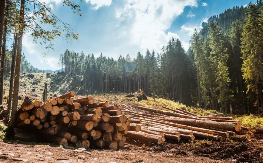 Ścięte drzewa wlesie